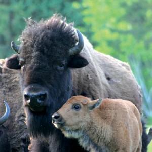 Terre des bisons-Lanaudiere