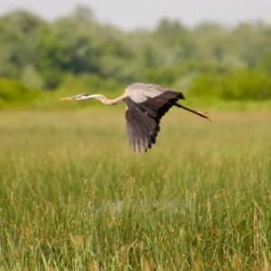Dans les marais du lac Saint-Pierre Crédit : Biophare CIPS